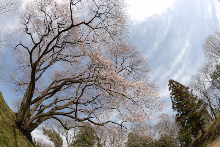 20100322sakura11
