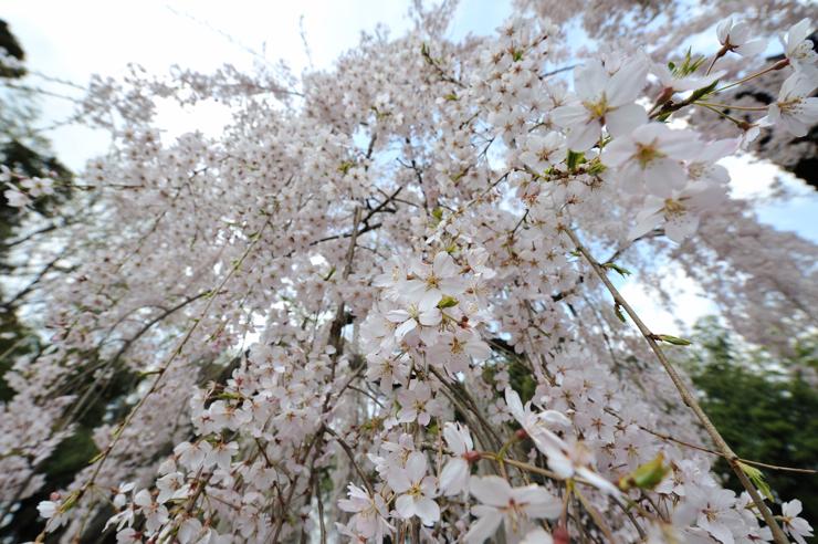 20100410_kounosusakura1
