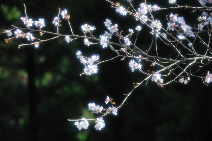 20111113_sakura701