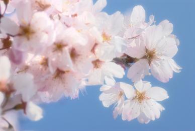 20090321_sakura801
